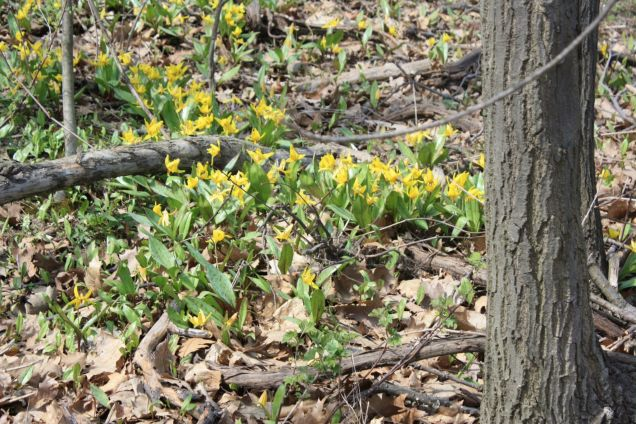 Trout lilies in Crerar forest.